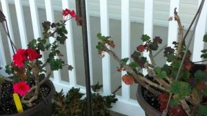 geraniums-november